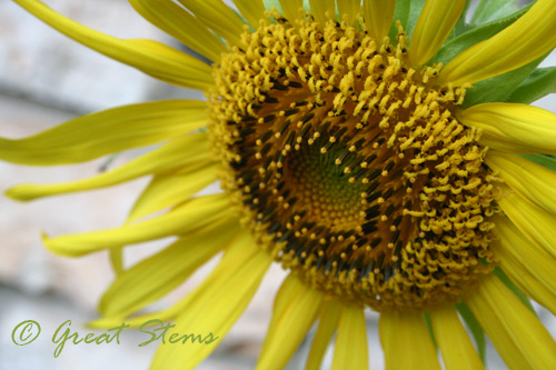 sunflowerb07-10-10.jpg