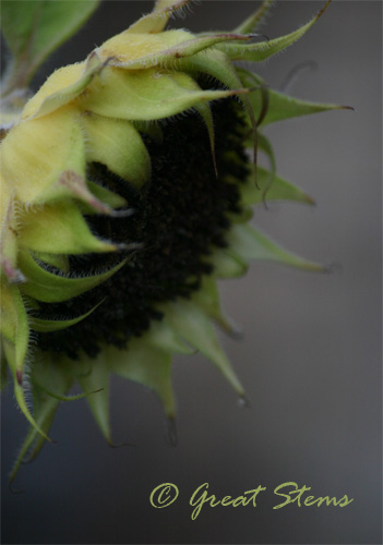 sunflowerseedhead07-28-10.jpg