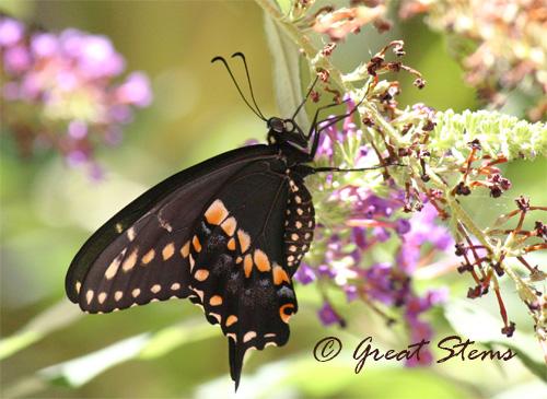 swallowtail06-29-10.jpg