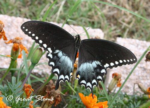 swallowtail07-11.jpg