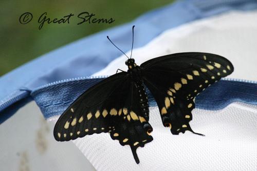 swallowtailb06-29-10.jpg