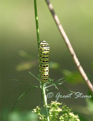 swallowtailcat06-13-10.jpg
