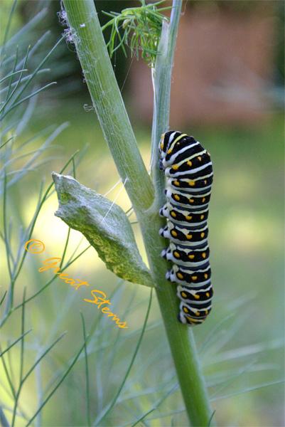 swallowtailcatchrys04-25-10.jpg
