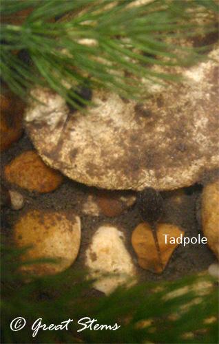 tadpoles07-01-11.jpg