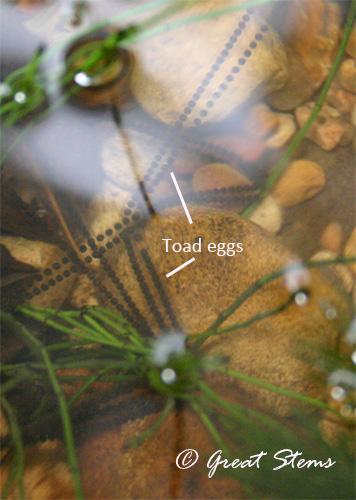 toadeggs07-01-11.jpg