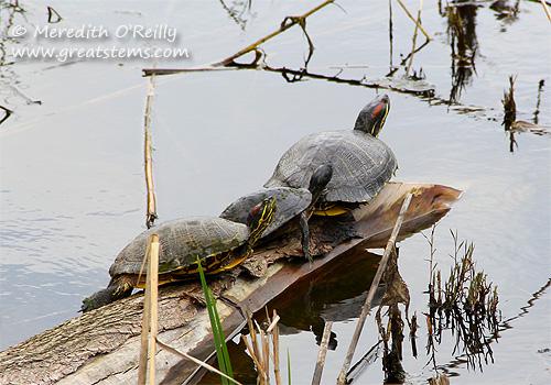 turtles03-17-12.jpg