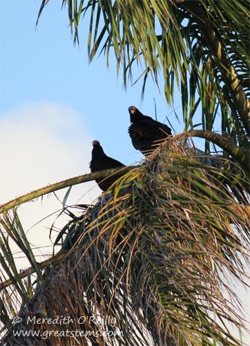 vultures03-12-12.jpg