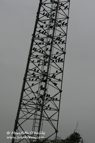 vulturesc12-24-11.jpg