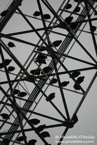vulturesd12-24-11.jpg