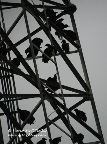 vulturesf12-24-11.jpg