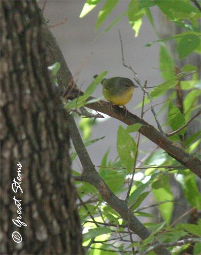 warbler09-06-11.jpg