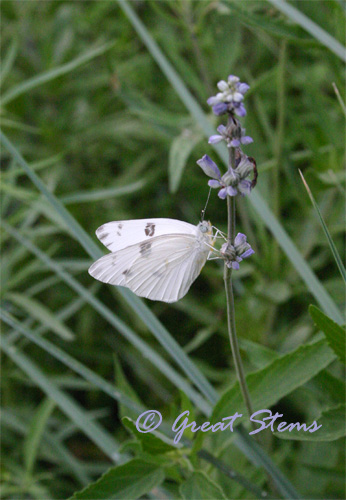 whitebfly05-27-10.jpg