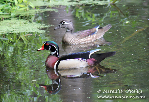 woodducks03-16-12.jpg