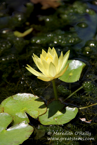 yellowwaterlilyb05-06-12.jpg
