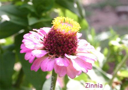 zinniac06-15.jpg