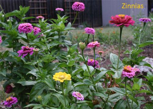 zinniad06-15.jpg